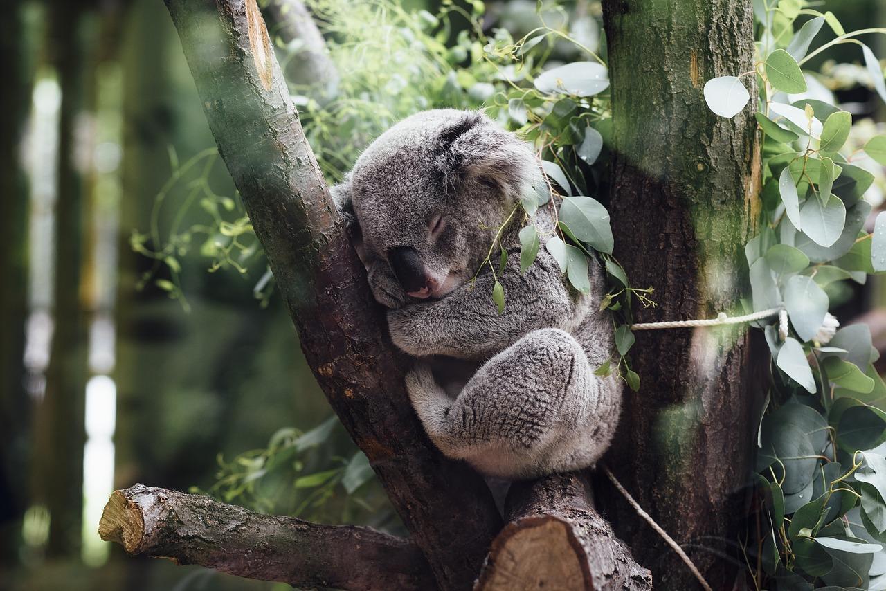 Koala a rischio